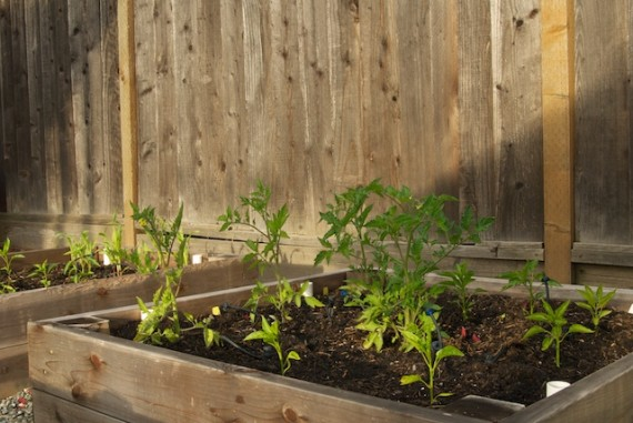 Tomato and Pepper patch
